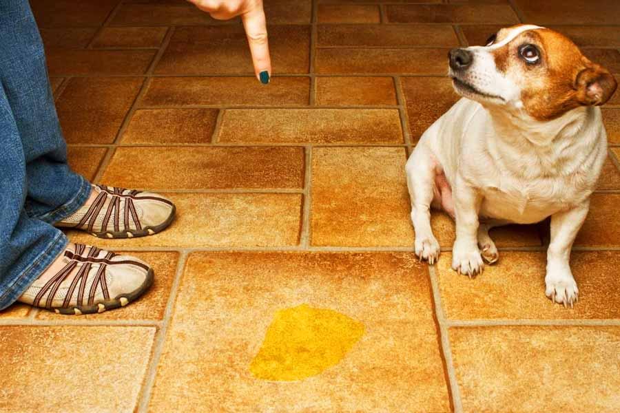 Xixi do cachorro é problema frequente para os donos dos bichinhos   Foto: Reprodução