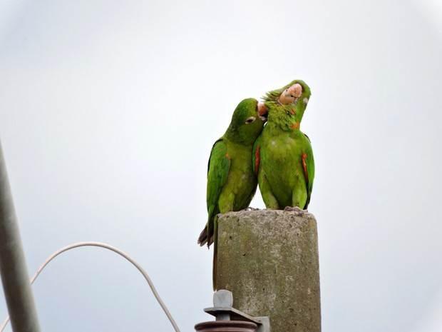 Maritaca costuma buscar local para ninho e roer fios elétricos | Foto: Whillyan Souza