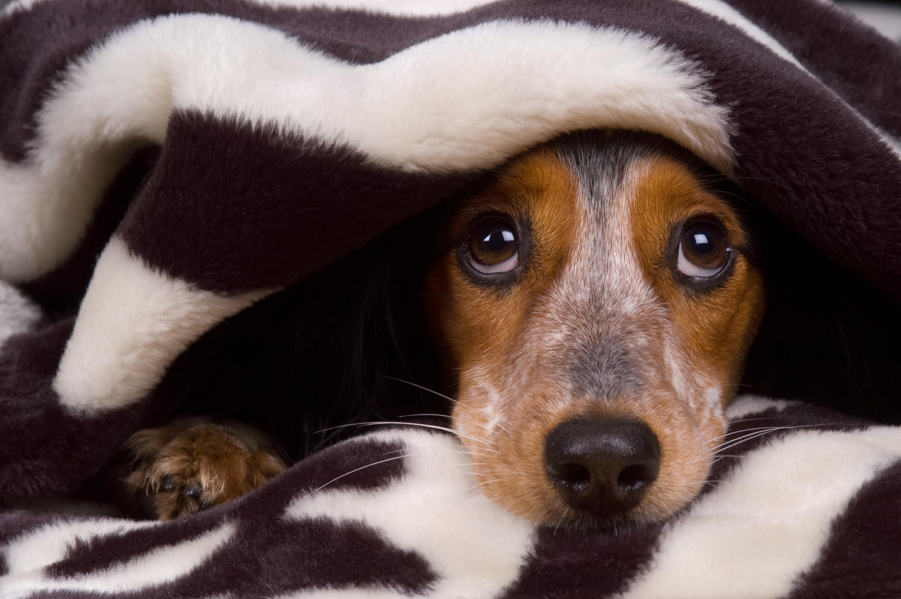Cachorro e fogos de artifício: treine seu pet para perder o medo   Foto: Reprodução