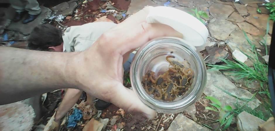 Dezenas de escorpiões são capturados em casa no Itatiaia | Foto: Divulgação/ SMS