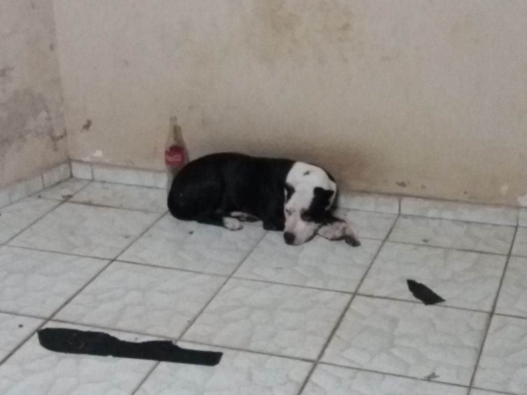 Pit bull resgatada pela polícia não seria sacrificada pelo Centro de Zoonoses, diz SMS | Foto: Reprodução/ WhatsApp