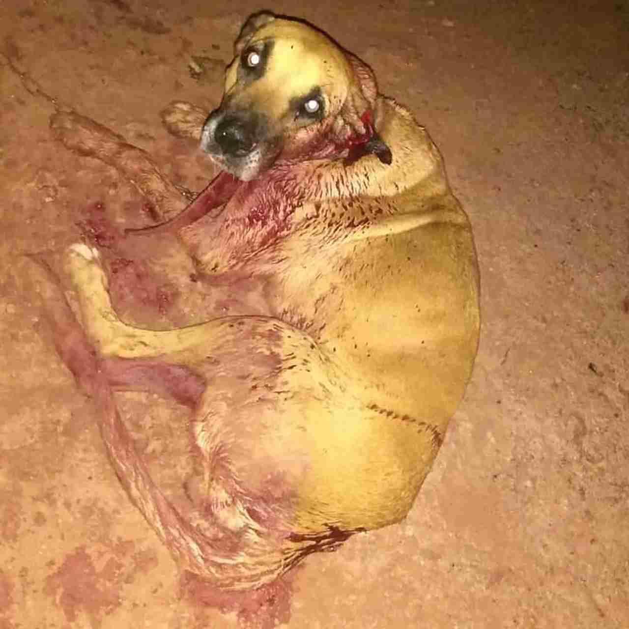 Cadela Safira ficou bastante ferida após ser golpeada com facão | Foto: ONG socorro animal
