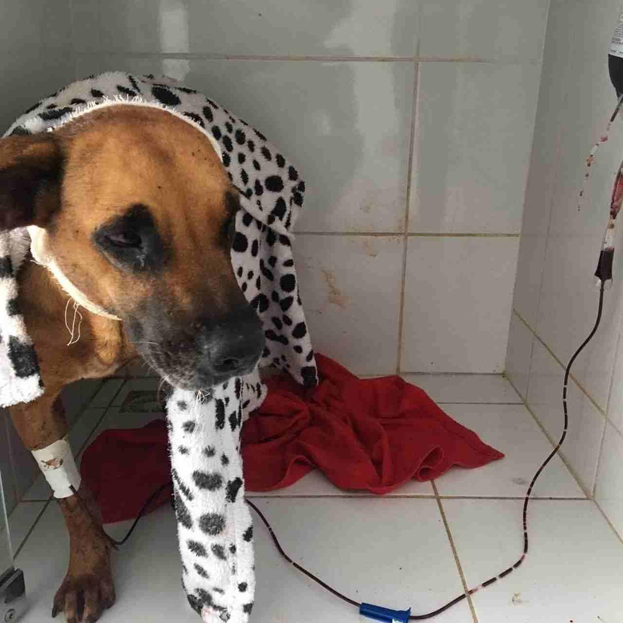 Cadela Safira ficou bastante ferida após ser golpeada com facão   Foto: ONG socorro animal