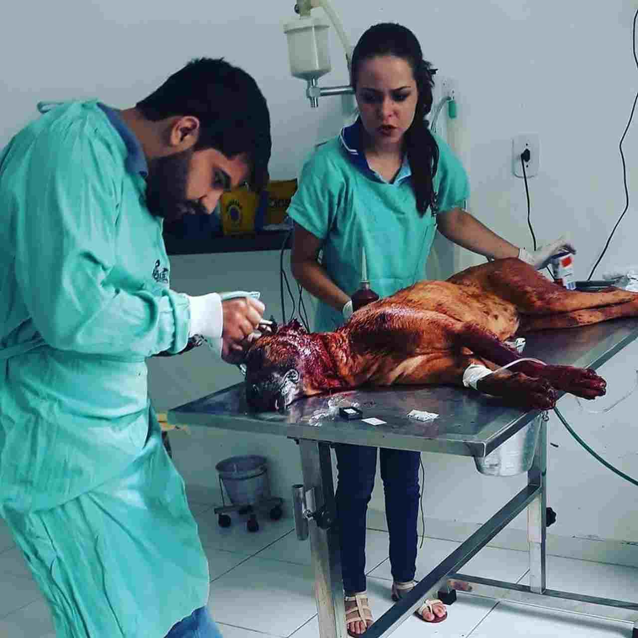 Safira precisou passar por atendimento veterinário após ser ferida gravemente | Foto: ONG Socorro Animal